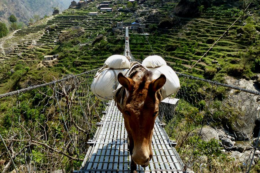 Donkeys crossing suspension bridge
